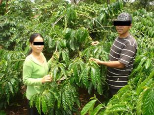 Coffee plantation (2)